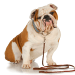 How to Pick Out the Ideal Leash for Your Dog