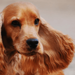 Dog Breed Spotlight: Cocker Spaniel