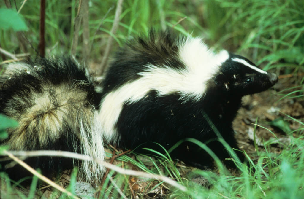 skunk dangerous for dogs