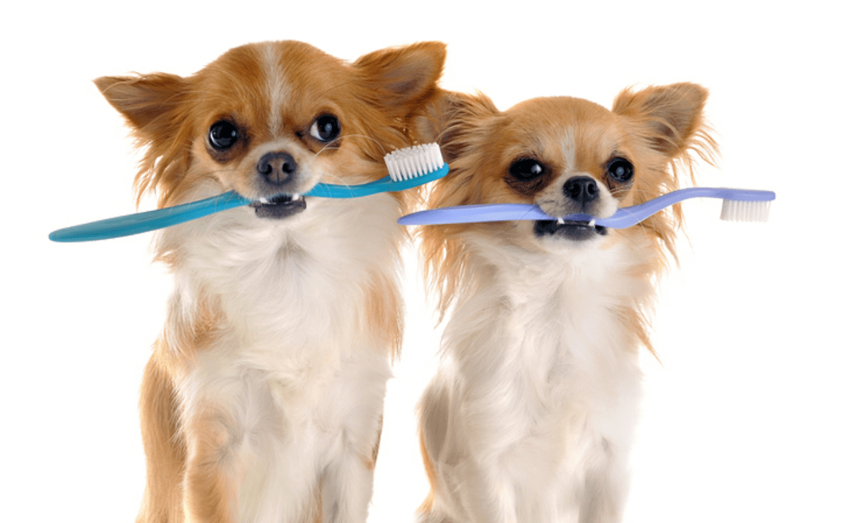 chihuahuas-with-toothbrush