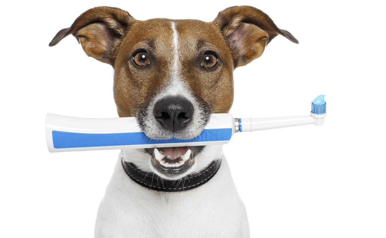 dog tooth brush jack russell