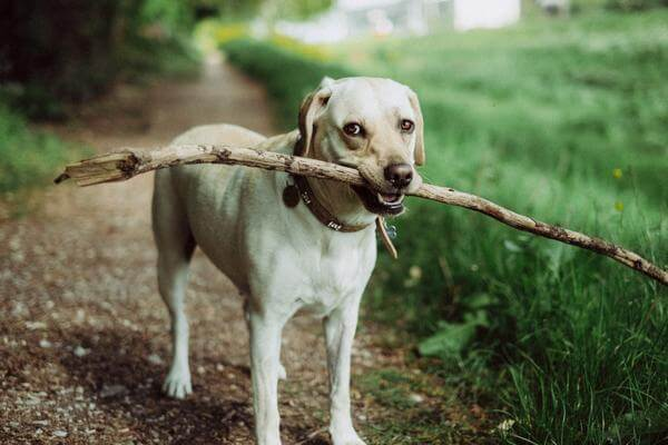 wood sticks dangerous for dogs
