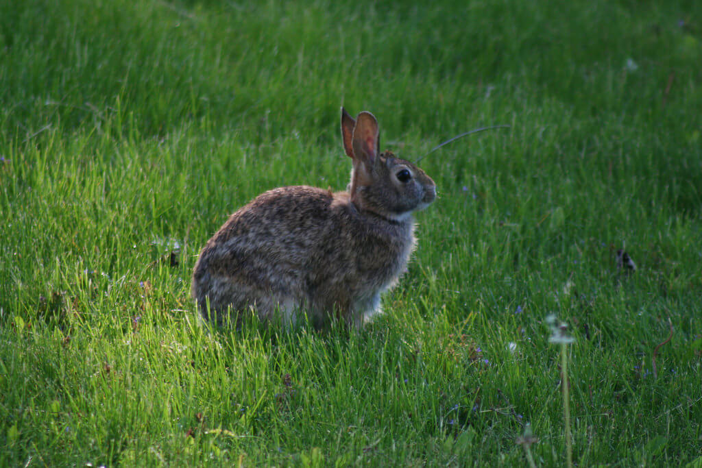 wild rabbit dangerous for dogs