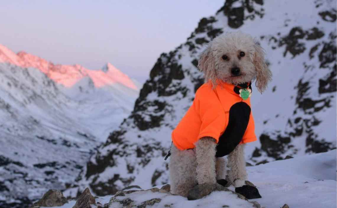 extra blog image - poodle dog winter camping - Canine ...